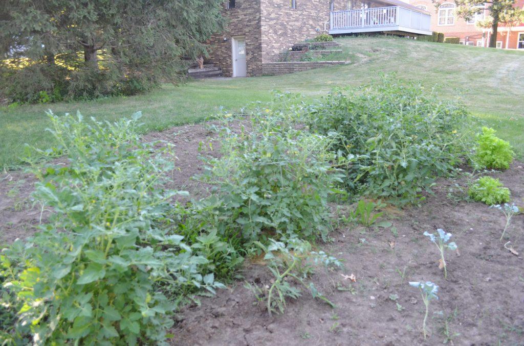 Update On My Veggie Garden Growyourownfood Surviving A